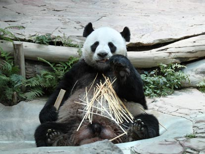 Panda eating at Chiang Mai Zoo